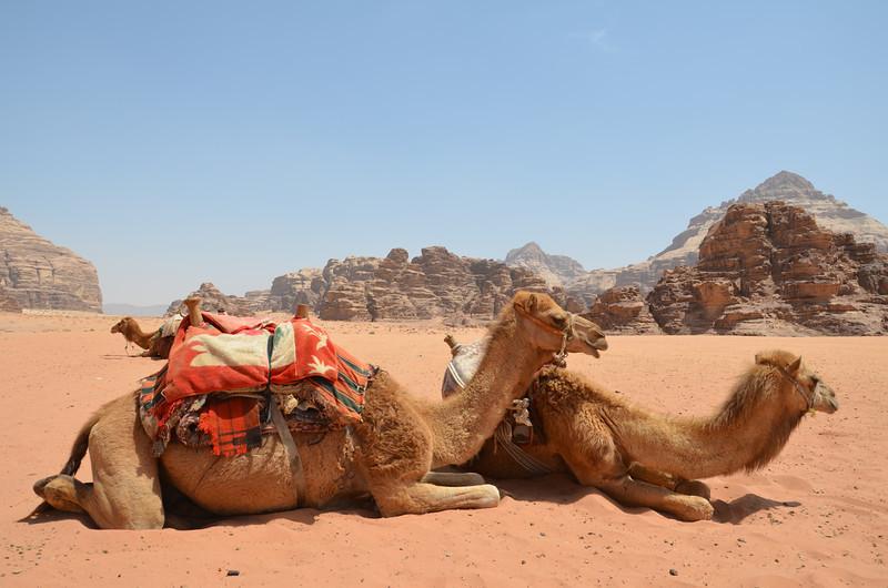 DSC_9458-camels-resting.JPG