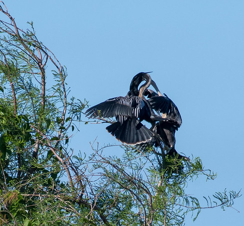 Anhinga parent feeding rather large chicks, Green Cay