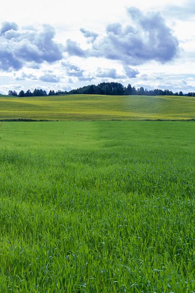 Økologisk korn med og uten gjødsel