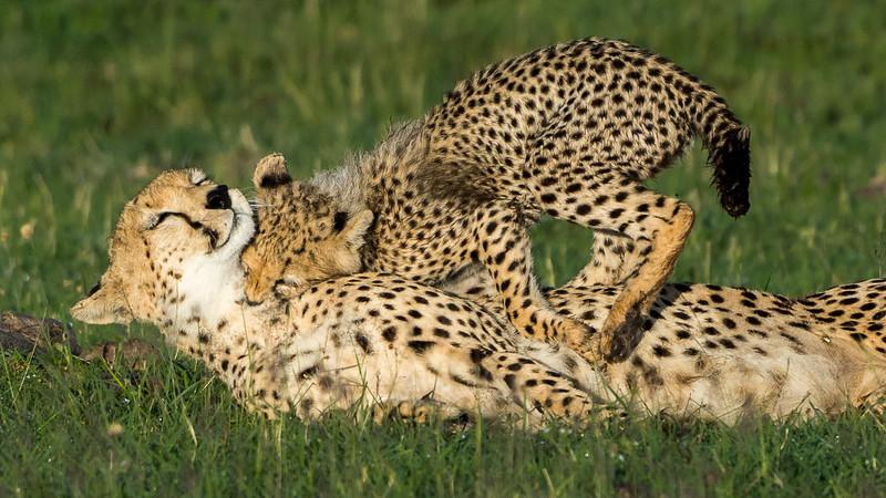 Cheetahs-0217.jpg