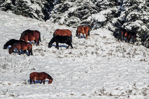 11 2013 Nov 4 Alberta Wild Horses, Bright & Shiny*^