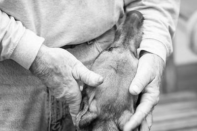 Gold Coast Greyhound Adoptions