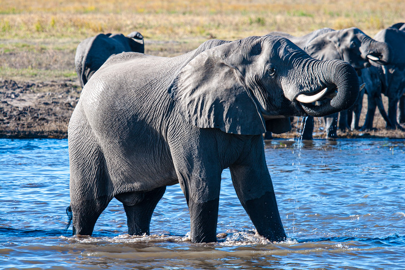 Large male elephant drinking