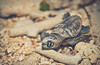 Baby Turtle fights its way to the sea in the Caribbean Island of Grand Cayman