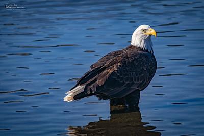 Bald eagles ~ Atascadero Lake CA