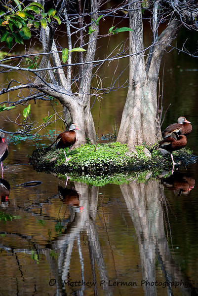 Black-bellied Whistling Ducks near  Pond Apple Tree