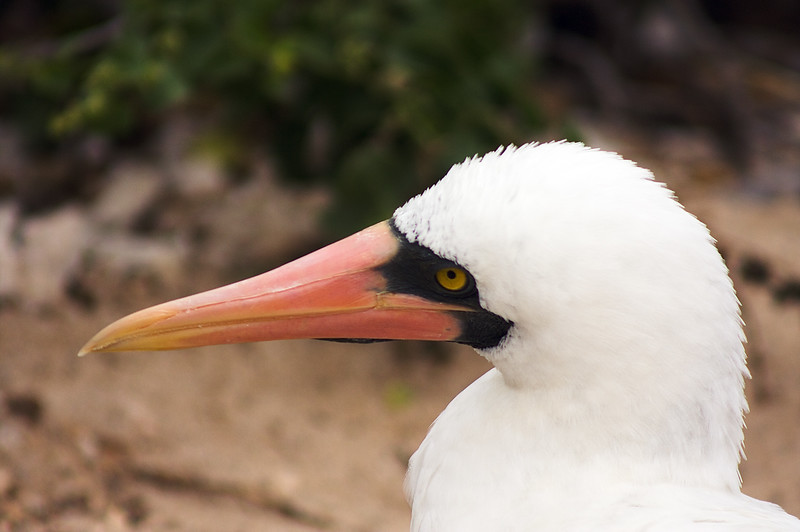 Nazca Booby Looking around : Journey into Genovesa Island in the Galapagos Archipelago