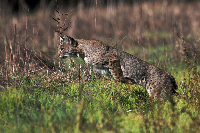 Bobcats 2 - Lynx rufus - Marin County