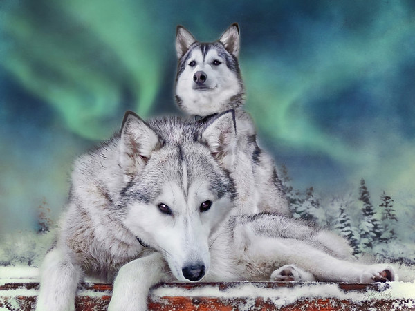 Siberian Huskies of BlueFox