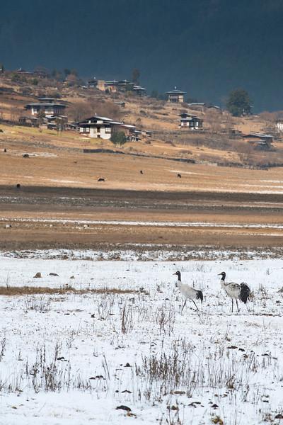 Black-necked-cranes-scape-phobjika-2.jpg