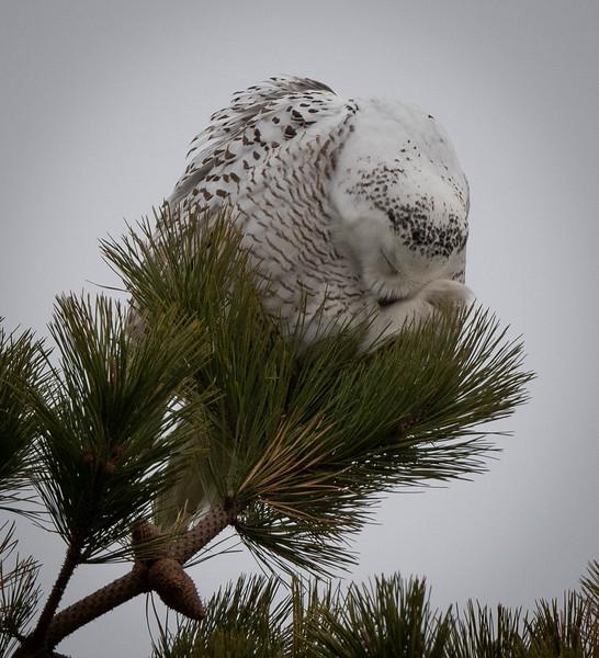 Snowy Owl Snowball