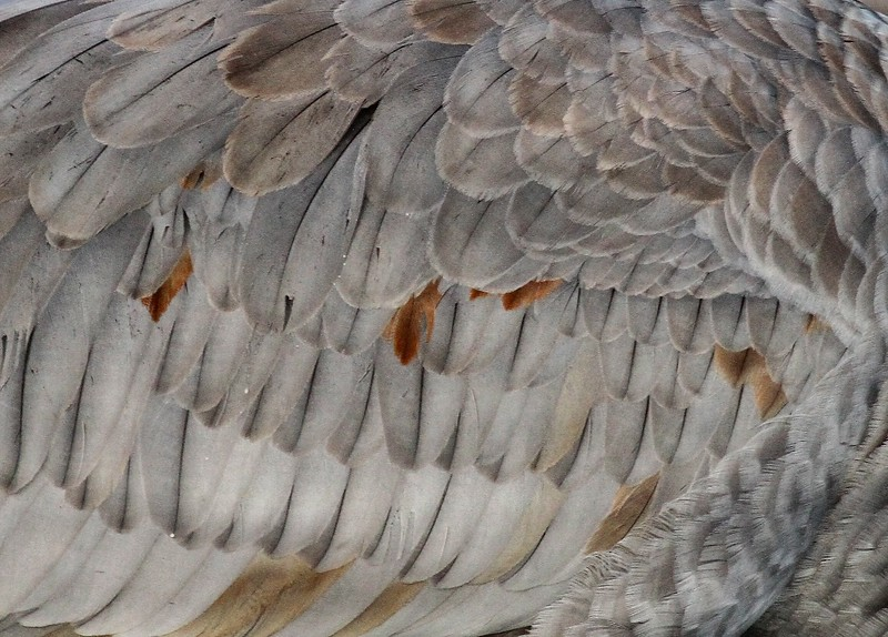 Feathers of a crane_0007317.jpg