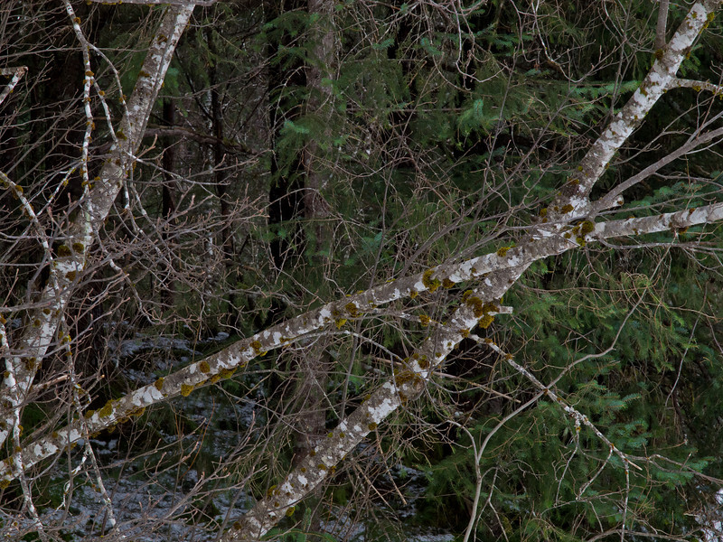 Crossed Alders near Dredge Lake.