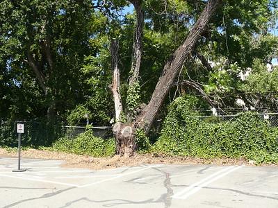 Candidate walnut tree
