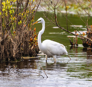Great White Egret Pictures