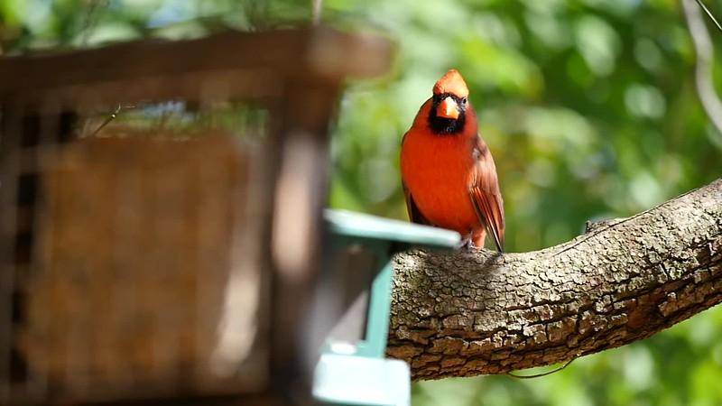 Cardinal.mp4