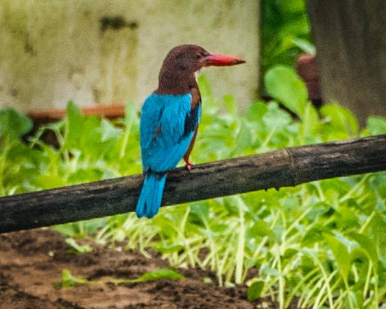 _DSC8240Asian Kingfisher.jpg