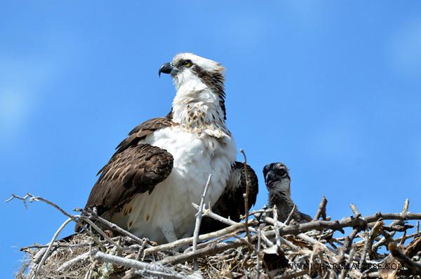 _DSC9487 Osprey Nest Evrglde P Web.jpg