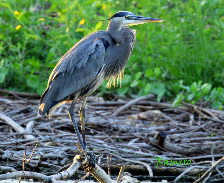 Great Blue Heron 10-17-15 Port A 465.jpg