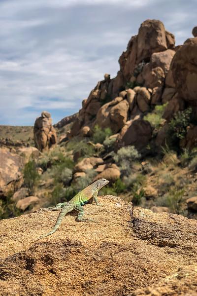 lizard by iPhone Big Bend -7988.jpg