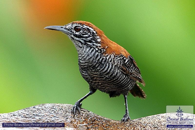 Nature-Bird-Riverside Wren-0800px_0600px-wm.jpg