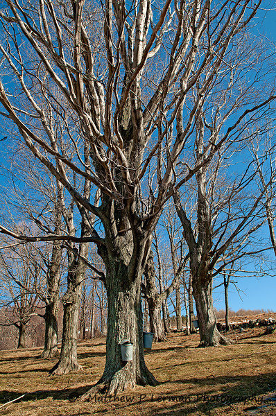 206 Scenic Maple Sugar Sap 03 20 11_1899.jpg