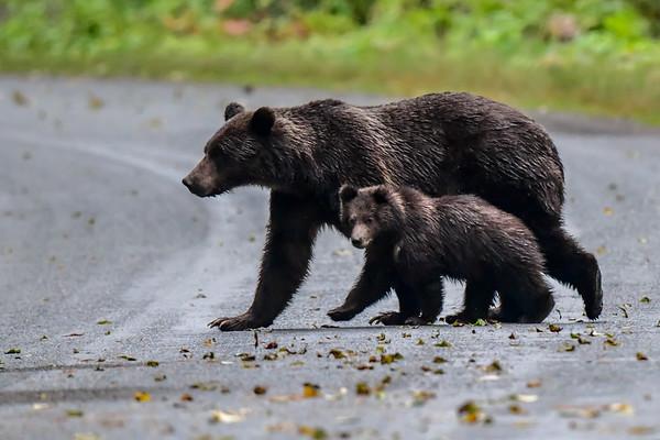 9-21-18 Grizzly Bear - Mom & Cub