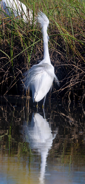 Snowy Egret in the pond ...