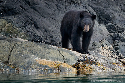 Black Bear in Butte Inlet