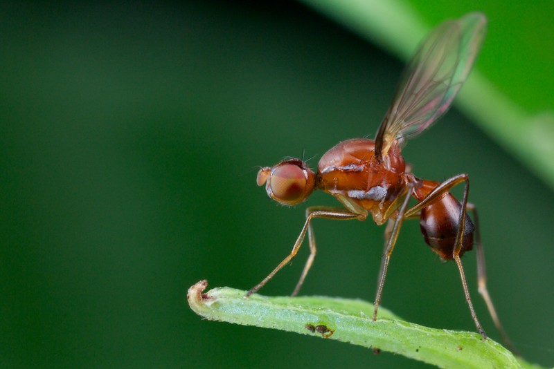 Ant-mimicking fly (Sepsis sp.)