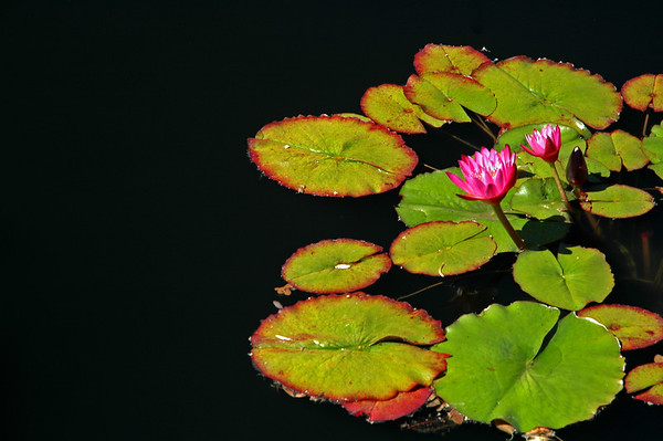 Nature - Water Plants