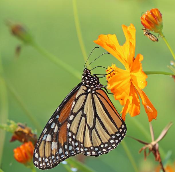 Monarch butterfly 077