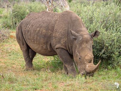 Mud covered White Rhino