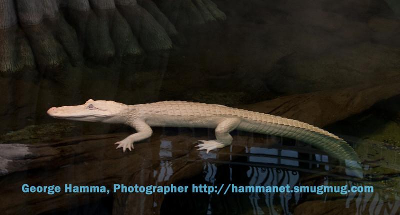 Clyde, the albino alligator.