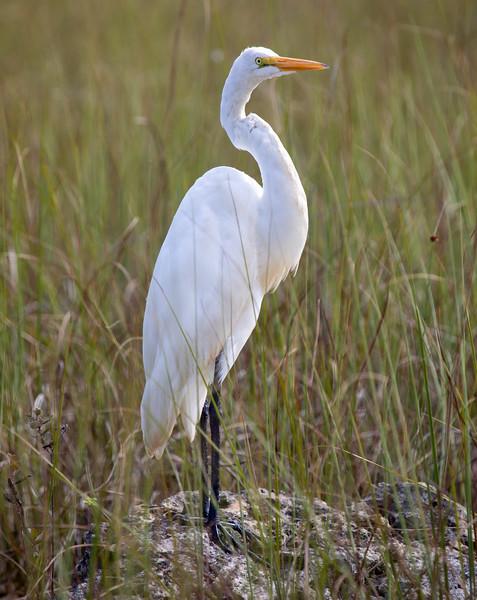 Great-Egret-1.jpg