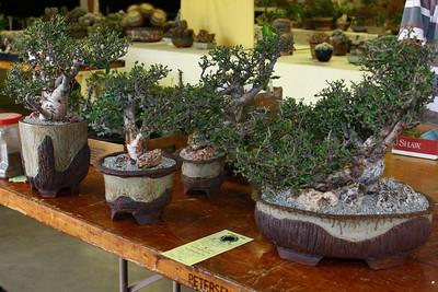 Bursera Simplicifolia
