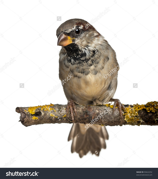 stock-photo-male-house-sparrow-passer-domesticus-months-old-in-front-of-white-background-93622252.jpg