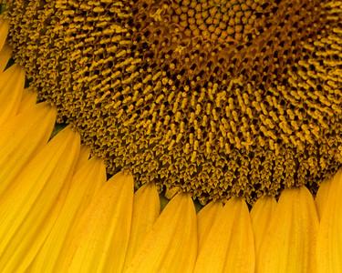 2019-08 Sunflowers