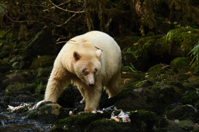 Spirit Bear fishing on Kwa Creek