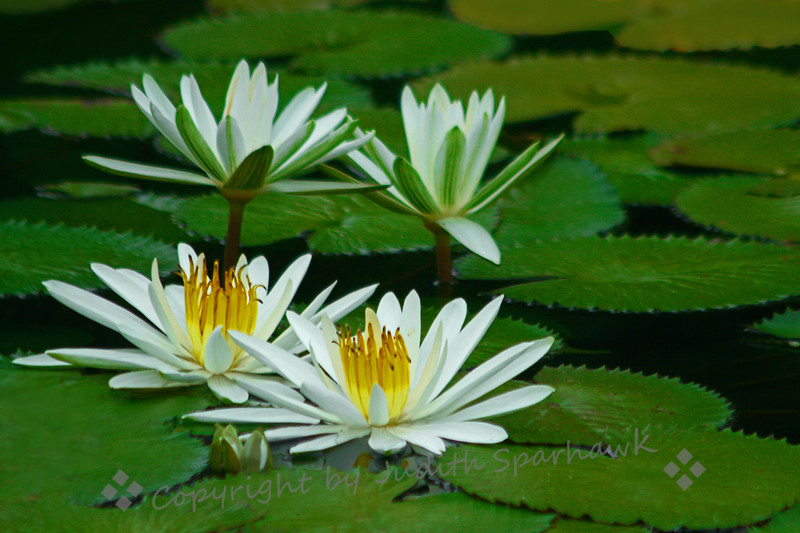 White Waterlilies ~ These lilies were in the reflecting pond at Balboa Park in San Diego, California.