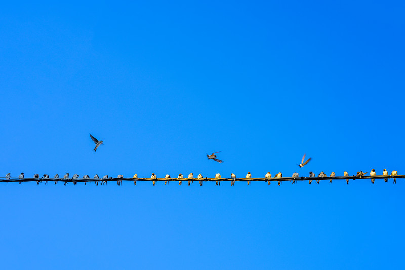 Common house martins on an electric cable, Andalusia, Spain.