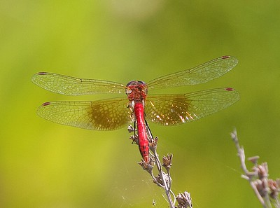 Sympetrum semicinctum (Band-winged Meadowhawk)