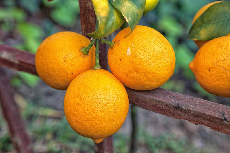 jan 5 - lemons.jpg