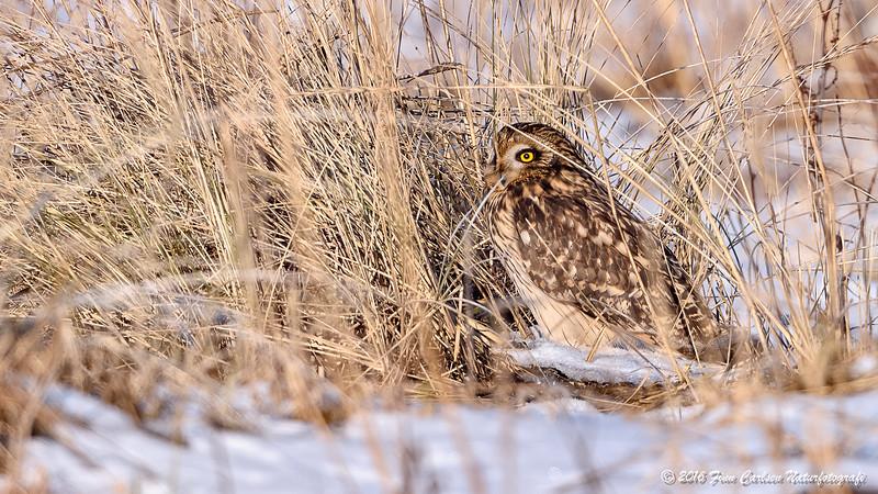 Mosehornugle - Asio flammeus - Short-eared Owl