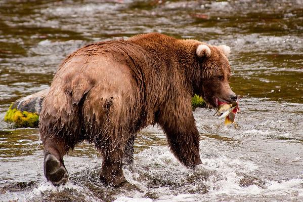 Katmai Bears of Alaska