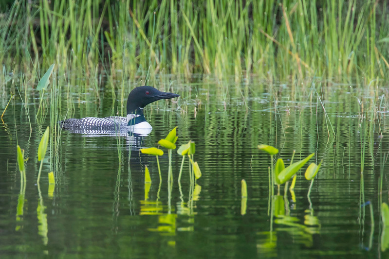 Loon adult in aquatic grass