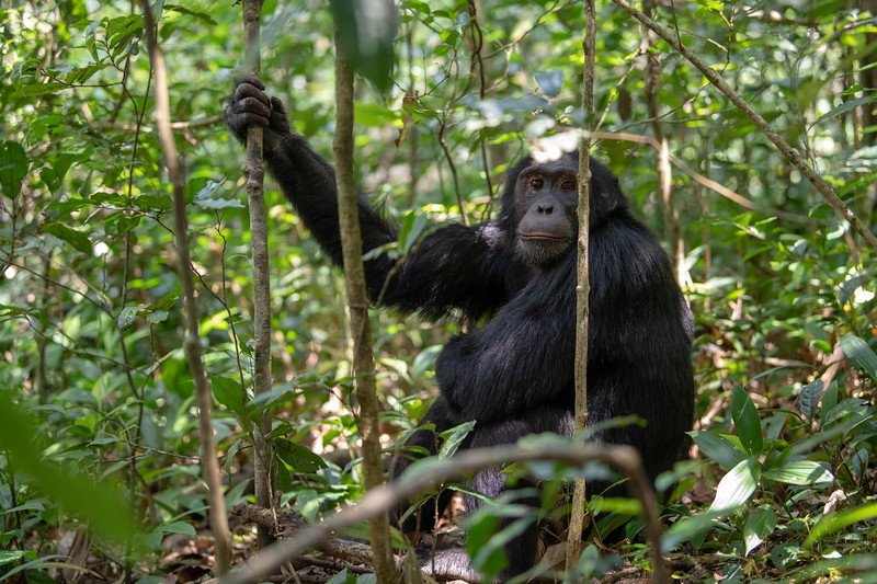 Uganda_T_Chimps-451.jpg