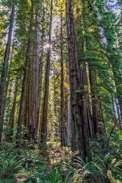 Redwoods Sunstar