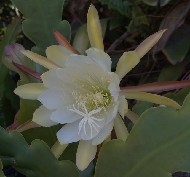 20071206_1122 epiphyllum cactus
