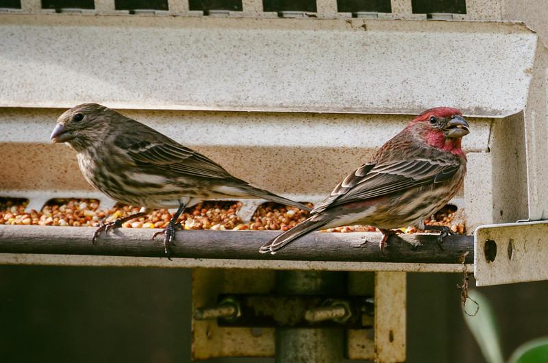 Finches at backyard bird feeder.